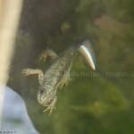 Tritone crestato italiano - Triturus carnifex