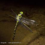 deposizione uova libellula