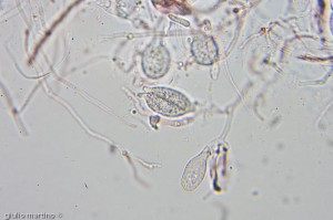 Myxarium nucleatum by giulio martino ©