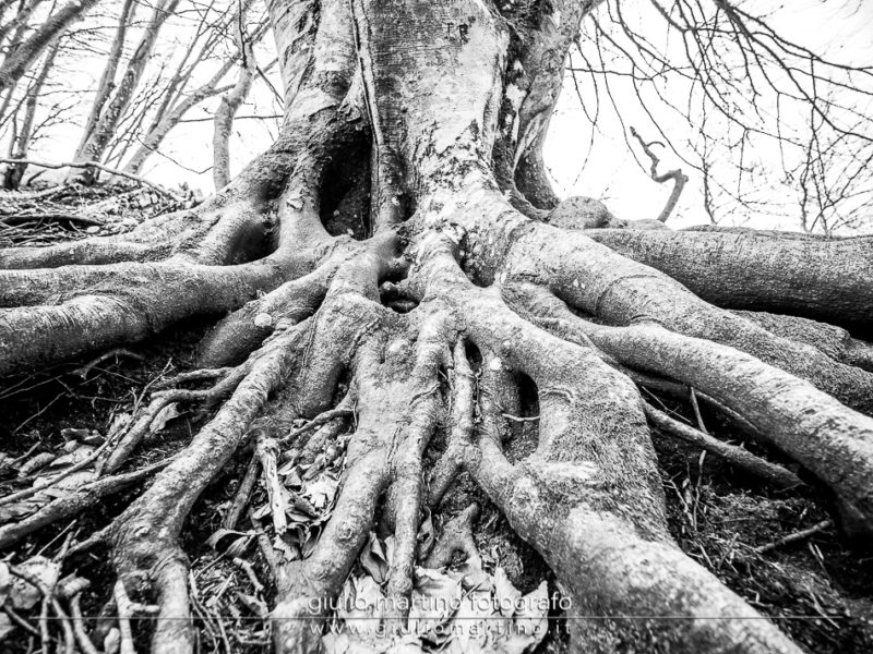 black and white photo of intertwined beech roots